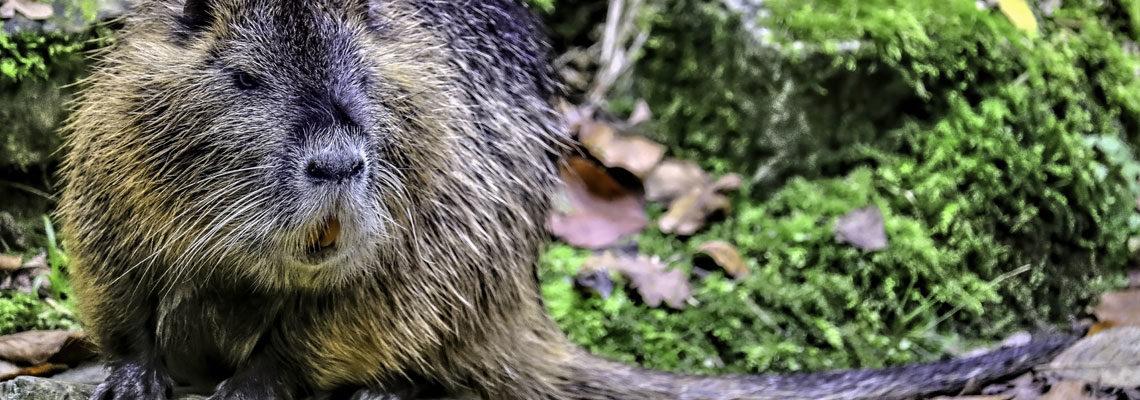 Ragondins et les rats musqués